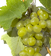 grape-130.png